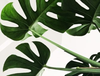 Bouturage de ta Monstera